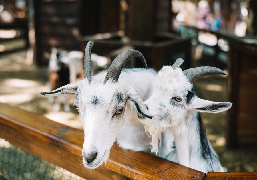 Leche fresca de cabra. La pastora de Guadarrama.